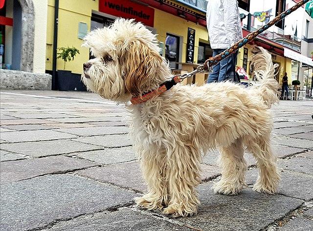 Bolonka - Najmanji pas na svetu