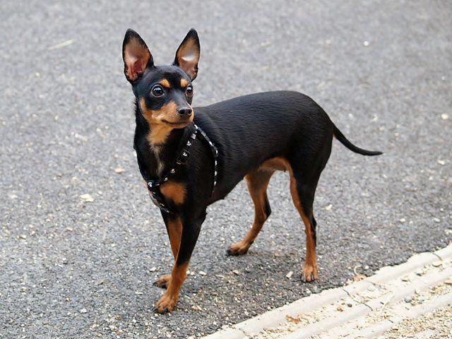 Prague Ratter - Najmanji pas na svetu