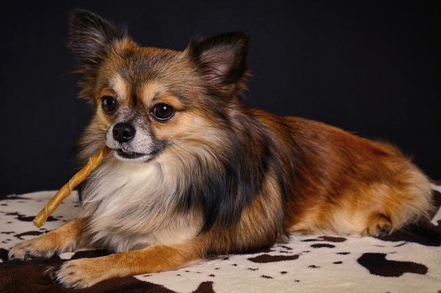 Čivava - Najmanji pas na svetu
