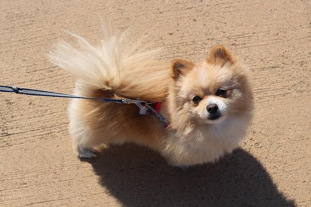 Pomeranac - Najmanji pas na svetu